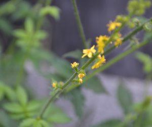 Odermennig Blüte