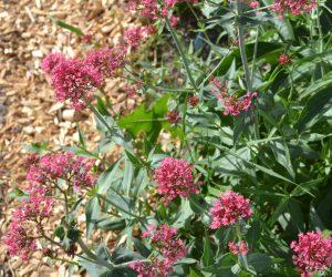 Rote Spornblume (2)