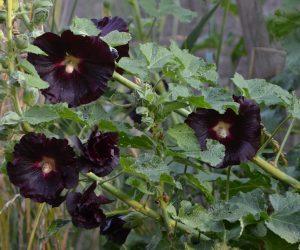 Schwarze Malve Blüte 1
