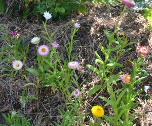 Strohblume (3)